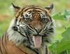 sumatran tiger Jarum Burgerszoo JN6A5687 (j.a.kok) Tags: tiger sumatraansetijger sumatrantiger sumatra asia azie pantheratigrissumatrae jarum cat kat animal burgerszoo mammal zoogdier dier predator