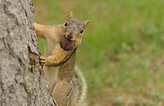 Squirrel, Morton Arboretum. 430 (EOS)