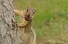 Squirrel, Morton Arboretum. 430 (EOS) (Mega-Magpie) Tags: canon eos 60d outdoors squirrel tree hungry nut the morton arboretum lisle dupage il illinois usa america
