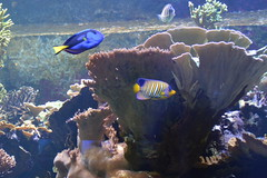 London, England, UK - The Regent's Park - London Zoo - Aquarium - Coral Reef (jrozwado) Tags: europe uk unitedkingdom england london regentspark theregentspark zoo aquarium fish tang reef