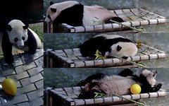 Bei Bei (Least I got my belly pillow on my new huge hammie. Now I gotta decide which end to sleep on and which body part I wanna hang over cuz I can't let it all hang out anymore.) 2018-06-23 at 11.00.39–12.51.07 AM (MyFoto:)) Tags: ccncby panda cub endangered vulnerable beibei smithsonian nationalzoo climbing sleeping egg hammock