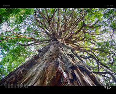 Redwood (tomraven) Tags: tree redwood branches leaves giant tall old ancient aravenimage tomraven q22018 sony a77