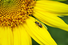 Sunflower - Bugged (Modkuse) Tags: macro macrophotography macrolens macroflower macroinsects sunflower flower garden nikon nikondslr nikond700 dslr 105mmf28nikkormacro 105mm nikon105mmf28macronikkor