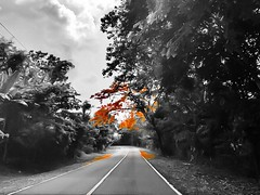 Road to somewhere (Lens_sky05) Tags: nature trees curvedroad road orange monochromatic blackandwhite bw colorsplash