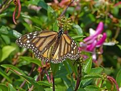 Monarch Butterfly female_15Jun2018 (Bob Vuxinic) Tags: butterfly monarchbutterfly danausplexippus female 15jun2018 cumberlandplateau crossvilletn