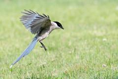 SYS_9015 (Daegeon Shin) Tags: d850 nikon nikkor 200500 animal bird ave pajaro cyanopicacyana landing 착륙 aterrizaje dof 니콘 니콘렌즈 동물 새 조류 물까치 심도