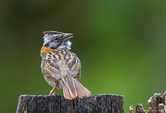 IMG_4798 Rufous-collared Sparrow - LN - Gorrión Collar Rufo - Tzontehuit, Chiapas, Mexico - June 2018 (Saad Towheed Photography) Tags: rufouscollared sparrow gorrión collar rufo tzontehuit chiapas mexico bird beak feather wing