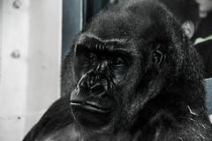 Gorilla Portrait (Beangrau12) Tags: gorilla lowlandgorilla philadelphiazoo blackandwhite