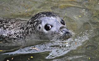 Dieser Blick * That look * Esa mirada * Seehund (Phoca vitulina) *   . DSC_4755-002