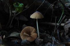 P5290777 Conocybe sp. (razor4343) Tags: conocybesp conocybe brownarffungi arffungi arfp qrfp tropicalarf therockscairns gillspores bolbitiaceae