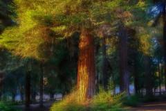 4th of July (stevenhgordon) Tags: stevenhgordon iphoneography california redwoods