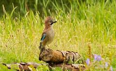 _DSC7196 (AngelPixCn) Tags: angepixcn birdlife birds flowers jay lillys moorehenchicks nationaltrust nikond7100 river squirrel tree uk cardiff wales unitedkingdom gb