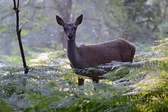 Red Deer (Mike J O Lewis) Tags: deer new forest newforest nature d3200 nikon red reddeer