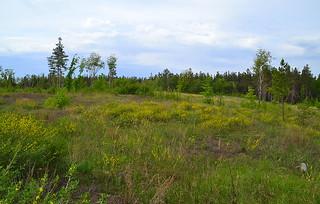 Fields of Chamaecytisus