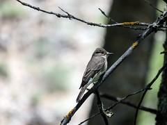 papamosca gris (JCMCalle) Tags: oiseau bird ave pájaro jcmcalle photohoot fhotografy photofrapher nofilter naturaleza nature naturephotography nofilters papamosca