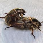 Asiatic Beetles thumbnail