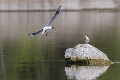 Tu n'auras pas ma place! - You won't have my seat! (bboozoo) Tags: oiseau bird nature animal wildlife canon6d canon100400 mouette seagull sterne commontern lake lac water eau pierre stone