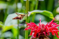 07122018-214-1 (bjf41) Tags: hummingbirdmoth moth hummingbird flight flower flowers flying fast challenging nikon nikond600 nikon200500 200500 500mm nature bugs