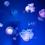 Color Jellyfish (Blue Jellyfish) of Enoshima Aquarium, Fujisawa : カラージェリーフィッシュ(藤沢市・新江ノ島水族館) thumbnail