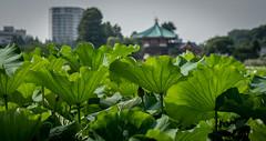 L1011301 (Camera Freak) Tags: 180716uenom10 m10 leica ueno tokyo lotus shinobazu july 2018