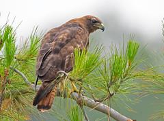 Red tail hawk (dark morph) (knobby6) Tags: redtailhawk buteo birdofprey raptor california darkmorph nikon800mm 125tc d5