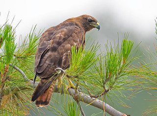 Red tail hawk (dark morph)