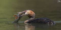 Great Crested Grebe (Mick Erwin) Tags: great crested grebe perch