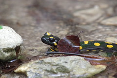 Feuersalamander (Aah-Yeah) Tags: feuersalamander salamander salamandra firesalamander schwanzlurch achental chiemgau bayern