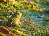 Bullfrog (ildikoannable) Tags: animal nature smallthingsinnature olympus lumix blue green frog bullfrog