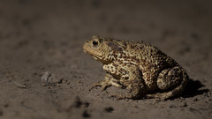 Common Toad (Thomas Winstone) Tags: commontoad wales unitedkingdom gb toad countryside outdoor coast coastal 3lt 3leggedthing thomaswinstonephotography bbc springwatch bbcspringwatch nationalgeographic canonuk canon 300mm28mk2 yongnuoflash600exrtii offcameraflash flash tripod