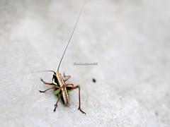 [+1 inside] (CarloAlessioCozzolino) Tags: macro insetto insect bug cornatedadda portodadda ortottero orthoptera photoexplore explore