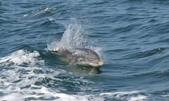 Bottlenose Dolphin (KHR Images) Tags: bottlenosedolphin tursiops tursiopstruncatus cetacean marine mammal wild nature wildlife ulva isleofmull innerhebrides scotland nikon d500 kevinrobson khrimages