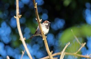 Singing Morningbird