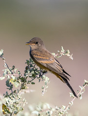 Say's Phoebe (Ed Sivon) Tags: america canon nature lasvegas wildlife wild western southwest desert clarkcounty flickr vegas bird henderson nevada preserve