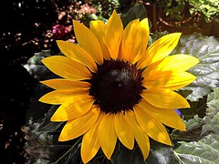 Stand tall and face the Sun (RenateEurope) Tags: 2018 renateeurope iphoneography nature flowers flora plant yellow sonnenblume sunflower quintaflower awesomeblossoms