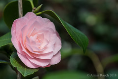 20180324_062 (Thorndike.ar) Tags: camelliajaponica cologne deutschland europa europe flora germany kamelie kamelienausstellung köln littlebopeep nordrheinwestfalen northrhinewestphalia strauch