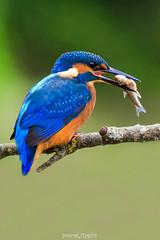 DMR_0164 (david marfil) Tags: martinpescador blauet bird ocell nature naturemoments naturepics raconsdecatalunya naturaleza alcedoatthis