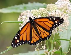 Monarch (tombenson76) Tags: chinocreekwetlands monarch danausplexippus