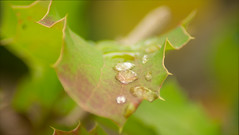 A droplet on a leaf (izimmt) Tags: leaf leafs water raindrops rain droplets macro macrophotography closeup closeups summer