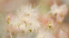 Gentleness (Christina's World Off and On) Tags: delicate exquisite dainty elegant gracefulfragile airy wispy flower white pink pastels nature bokeh painterly textures art artistic abstract brightcolors brilliant creative california colorful sandiego stilllife digitalart digitalpainting exotic flowers garden highkey impressionism impressionistic light outdoors plant buds romantic texture unitedstates usa vegetation prairiesmoke threefloweredavens oldmanswhiskers