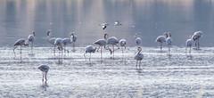 Enthalpy (Siminis) Tags: siminis haralambossiminis mytilene aegean aegeansea kalloni kalloniwetlands flamingo flamingos phoenicopterusroseus avocets recurvirostraavosetta wetlands morning morninglight