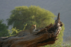 Leopard Relaxing on a log (Tony Costa (eTravelPhotos)) Tags: africa leopards kenya wildlife mammals cats samburu animal fauna nature