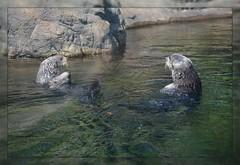 <*> Sea Otter Set - III. <*> (Wolverine09J ~ 1.5 Million Views) Tags: midnightandoregonjun18 southernseaotters marinemammal exhibit oregoncoastaquarium seasonal rescuewildlife nature centralcoast pair fantasticnature autofocuslevel1 autofocuslevel2 batslair