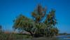 2018 - Romania - Danube Delta - Sfântu Gheorghe - Wetlands (Ted's photos - For Me & You) Tags: 2018 avalonwaterways cropped nikon nikond750 nikonfx romania tedmcgrath tedsphotos vignetting bluesky blue reeds reedbed danubedelta danubedeltareedbed tree water danuberiver unesco unescoworldheritagesite unescobiospherereserve
