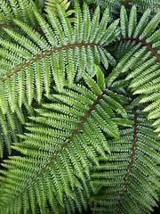 Fern Patterns (CosmoClick) Tags: green pattern fern varen patroon cosmoclick wow