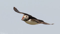 Successful Puffin (Steve (Hooky) Waddingham) Tags: stevenwaddinghamphotography bird british coast sea summer nature northumberland fish flight farnes puffin wild wildlife