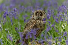 Long Eared Owl (MV Photography (900,000 + Views)) Tags: canon 7d owl bird birdofprey raptor long eared