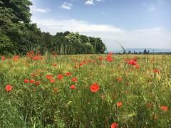 Campagne Genevoise (preichli) Tags: russin land fleurs poppy champs blé pré campagne genève dardagny coquelicot pavots