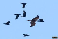 Wedge-tailed Eagle (Aquila audax audax) (Dave 2x) Tags: aquilaaudaxaudax aquilaaudax aquila wedgetailedeagle wedgetailed eagle mountannanbotanicgardens camden nsw australia leastconcern