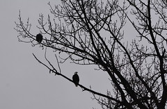 TWO BALD HEADED EAGLES, THE LOCALS OF MILL LAKE,  ABBOTSFORD,  BC. (vermillion$baby) Tags: baldheadedeagle fraservalley milllake abbotsford bird cloud damage fog mist rain storm tree winter eagle